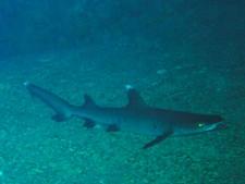 El Malai - Requin à pointe blanche