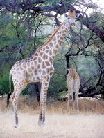 Girafes - Dusternbrook Guestfarm