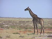 Girafe - Etosha