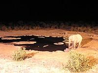 Elépahnt sur le point d'eau d'Halali - Etosha