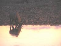 Rhinocéros - Etosha
