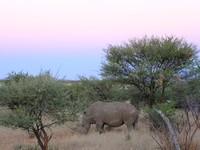 Rhinocéros blanc - Mont Etjo Safari
