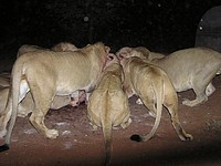 Repas des lions - Mont Etjo Safari