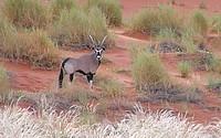 Orux -Namib Rand Nature Reserve
