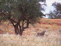 Oryx - Namib Rand Nature Reserve