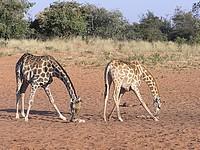 Girafes - Waterberg