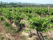 Vigne de Loei
